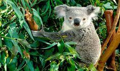 Koala eukalyptyspuussa