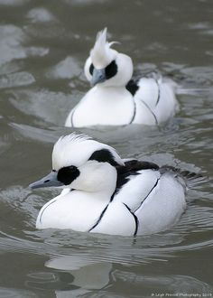 Smew - (Mergellus Albellus). This species breeds in the northern taiga of Europe and Asia. Panda duck? ;)