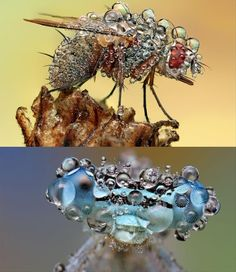 fly covered in water droplets #amazing animals