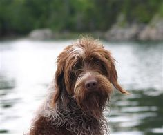 """Image detail for -Scruffy dog"""" ABBY our Wirehaired Pointing Griffon after a swim - Only ..."""