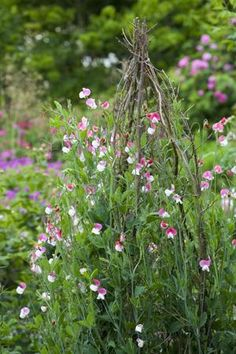Lathyrus odoratus 'Painted Lady'  is a beautiful bi-colour pale and darker pink sweet pea. A very highly-scented, old-fashioned type. Also the earliest-flowering of the highly scented varieties. Grow them over arches, tepees and trellis. Sweet peas are all easy to grow and perfect for bees, butterflies and other pollinating insects.