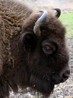 The European bison (Bison bonasus), also known as the Wisent, was almost extinct in the wild by the end of the 19th century. A very successful reintroduction program, mostly in Eastern Europe, has resulted in a greatly increased bison population. Today, the species is listed as vulnerable - an endangered species success story.