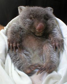 very small and round baby wombat (it hasn't grown into its claws yet...)
