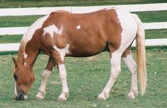 the spotted draft horse | North American Spotted Draft | Flickr - Photo Sharing!