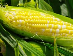 Growing heirloom sweet corn is like grownig the taste of summer in your backyard. Learn the secrets to growing, and which heirloom varieties to try! Best Perennials For Shade, Season Fruits And Vegetables, Hosta Care, Geranium Care, Corn Crop, Leaf Structure, Cow Manure, Growing Onions, Hosta Plants