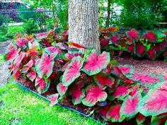 Caladium en tant que déco dans le jardin d'ombre Tropical Garden Design, Tropical Landscaping, Front Yard Landscaping, Tropical Plants, Florida Landscaping, Tropical Gardens, Beautiful Gardens, Beautiful Flowers, Beautiful Pictures