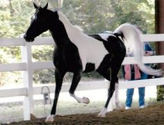 Royal Rogue, is 1999 gelding and triple registered with Half-Arabian, National Show Horse, Pinto Horse Association, and Lifetime Registration with USDF.