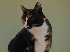 KILLED BY ACC - 07/08/15 - ANNIE - #A1041126 - - Manhattan ***TO BE DESTROYED 07/08/15*** SPAYED FEMALE TORTIE AND WHITE DOMESTIC SH MIX, 7 Yrs - OWNER SUR ON 06/22/15 - MOVE2PRIVA
