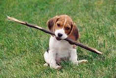 I bought my little beagle a long bone when she was young and she just loved it this photo reminds me of that time where she carried this long bone up the stairs to our apartment.
