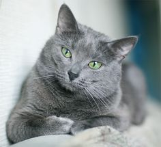 Pretty Russian Blue. We have had 4 of these cats. I tend to be unable to resist a grey kitten!They are faithful, loyal, and intelligent.Trainable too.