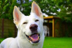 This is a truly happy dog - Chica! The Best white german shephard in the World! Blue German Shepherd, German Shepherd Facts, White Swiss Shepherd, German Shepherd Puppies, German Shepherds, Big Animals, Dog Stories, Purebred Dogs, Schaefer