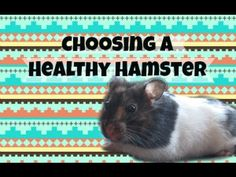 ChocolateColors26 - Choosing a healthy hamster is important when getting a hamster. Watch this video- it helped me!
