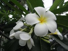 Tropical white flower with yellow center check out the free plant uzak dou mightylinksfo