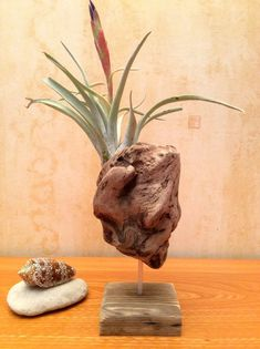 Advanced air plants for sale near me you'll love Driftwood Planters, Driftwood Projects, Wooden Planters, Driftwood Art, Air Plant Display, Plant Decor, Air Plants, Indoor Plants, Decoration Plante