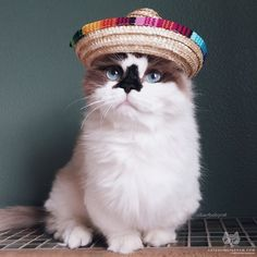 """From @albertbabycat: """"Taco Tuesday!"""" #catsofinstagram"""