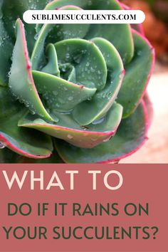 Rainwater can actually be quite healthy for succulents, even in large amounts. There are also a few factors, such as drainage and temperature, to consider before you start worrying about your precious plants. Find out on this pin what you can do when it rains on your succulents. #succulents #succulentgardening #succulentcare #outdoorgardening #gardeningtips Indoor Succulents, Succulent Gardening, Planting Succulents, Cactus Plants, Gardening Tips, The More You Know, What You Can Do, How To Find Out, Types Of Soil