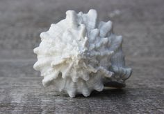 Dresser cabinet drawer sea shell knob pull handle for beach house - kitchen fixture hardware in white