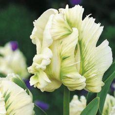 Tulipa 'Super Parrot' (JJ)