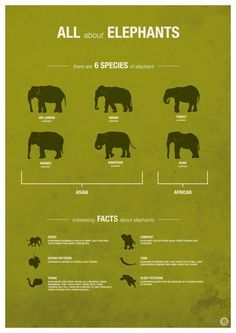 A series of infographic posters based around the theme of 'Zoo Animals' for Twycross Zoo.After visiting Twycross Zoo, I was inspired by the variety and range of animals on display. A great way to learn more about these magnificent Elephant Breeds All About Elephants, Elephants Never Forget, Save The Elephants, Elephants Photos, Baby Elephants, Types Of Elephants, Baby Hippo, Baby Cows, Asian Elephant