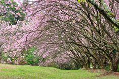 Parque do Carmos em São Paulo. Uma das maiores plantações de cerejeiras fora do Japão.