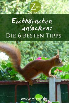 Ich liebe Eichhörnchen. Ich bin immer ganz fasziniert, wie die kleinen Tiere klettern können und von Baum zu Baum hüpfen. Eichhörnchen sehen mit ihrer zierlichen Gestalt und dem buschigen Schwanz wirklich niedlich aus und gehören zu den beliebtesten Gästen im Garten. Wie Sie in Ihren Garten Eichhörnchen anlocken können, verraten wir Ihnen hier.