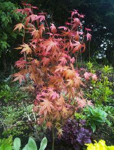 Algemene omschrijving Dit is een bijzondere Japanse Acer daar deze, met prachtig, tot roze toe, verkleurend blad getooid wordt. Zeer bijzonder een aanbevolen soort. Prachtig wisselende kleuren bladeren. Gebruik Hij groeit heel langzaam en zal niet veel groter worden dan 1,5 meter waardoor hij ook...