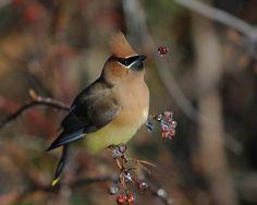 Cedar Waxwing (behavior finalist 2007) The Great Backyard Bird Count by James Hendrickson, New Jersey