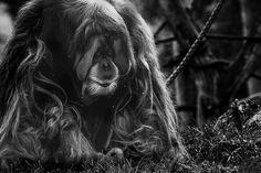 Orangutan by rogermbyrne, via Flickr