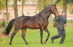 Malopolska Horse (m) Their pedigrees combine pure Arabian and Thoroughbred, as well as various Austro-Hungarian lines, such as Schagya, Gidran, …