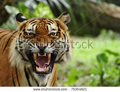 close up of a tiger's face with bare teeth of Bengal Tiger by enciktat, via Shutterstock
