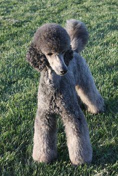 Grey Standard Poodle