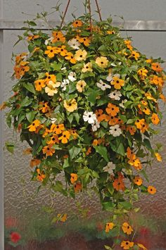 Blackeyed Susan vine SEEDS Mix COLOR,(Thunbergia alata) White,Gold ,And Yellow. - Caribbeangardenseed - 1