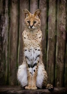 Serval (A domestic wildcat. It has a very soothing purr in my opinion)