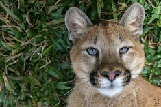Afrodite, the cougar cub Photo by Lucas Leite — National Geographic Your Shot Cat Bobcat, Animals And Pets, Cute Animals, Exotic Pets, Exotic Animals, Mountain Lion, Animals Beautiful, Beautiful Eyes, Big Cats