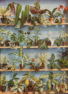 Some vintage bromeliads, very popular houseplants in the 1970s