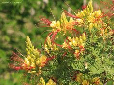 Flora Bonaerense: Barba de chivo (Caesalpinia gilliesii)