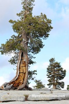 Subalpine tree Olmst