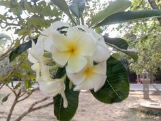 Frangipani , florile mele iubite ! Miros extraordinar !