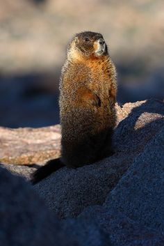 Yellow Bellied Marmot (Marmota flaviventris) - Rocky Mountain National Park, CO