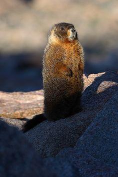 **Yellow Bellied Marmot (Marmota flaviventris) - Rocky Mountain National Park, CO