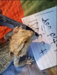 Stuff my bearded dragon does