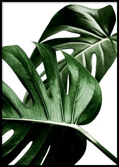 Overlap, Poster - Overlapping deep green Monstera leaves are aesthetically-pleasing in creating a st Botanical Wall Art, Floral Wall Art, Botanical Prints, Minimalist Art, Minimalist Poster, Minimalist Apartment, Minimalist Furniture, Plant Leaves, Monstera Leaves