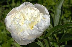 Paeonia lactiflora 'Primevere' 02 (werhardt) Tags: sterreich obersterreich paeonia pfingstrose uttendorf paeoniaceae
