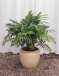 Costco Ponytail Palm Bonsai Tree Accessories 400 x 300