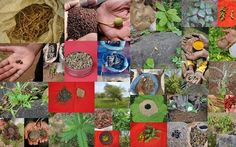 Medicinal Rice based Tribal Medicines for Diabetes Complications and Metabolic Disorders (TH Group-1008) from Pankaj Oudhia's Medicinal Plant Database