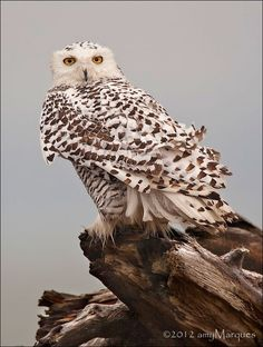 Snowy Owl by Amy Marques