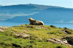 A highland cow