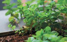 <p>Hortelã, alecrim e poejo estão na lista. Confira dicas para cultivar essas e outras ervas</p>