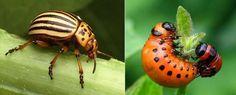 Bestrijding van de Coloradokever+larve
