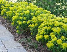 Spurge Plant Photos And Care Planting Shrubs, Garden Plants, Crocosmia, May Flowers, Delphinium, Spring Green, Hedges, Perennials, Perennial